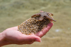 Live Starfish Image stock
