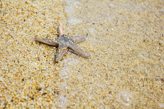Live Starfish Fotos de Stock