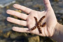 Live starfish in the hand of a girl Royalty Free Stock Photo