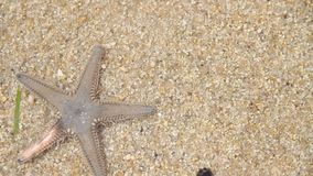 Live Starfish Royalty Free Stock Images