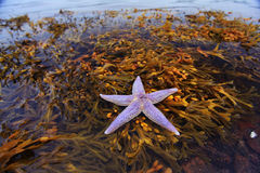 Live starfish Stock Photos
