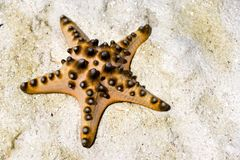 Live Starfish Stranded on Sand Royalty Free Stock Images