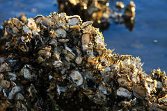 Live Sydney oysters on rocks in sunlight. Live Sydney rock oysters in late sunlight Royalty Free Stock Images