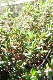 Live Thyme Plant verde Imagen de archivo libre de regalías