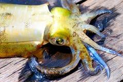 live tioarmad bläckfisk royaltyfria bilder