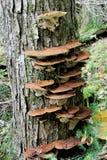 Live Tree avec le champignon d'arbre Photos stock