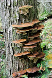 Live Tree with Tree Fungus Stock Photos