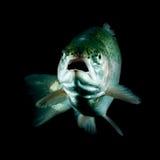 Live Trout Fish Imágenes de archivo libres de regalías