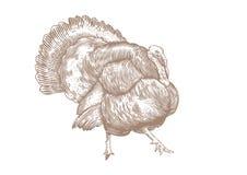 Live turkey Stock Photo