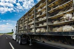 Live turkeys transportation truck on the road