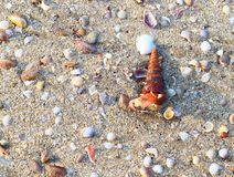 Live Turritella Gastropod Mollusk coming out of Shell. This is a photograph a Turritella gastropod mollusk coming out of its cone-shaped shell on a sandy beach Royalty Free Stock Photos
