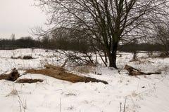 Live- und toter Baum im Schnee Lizenzfreies Stockfoto
