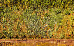 Live wall from the dense cut-off bushes as background Royalty Free Stock Image