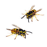 Live wasp isolated on white background Royalty Free Stock Photography