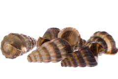 Live Whelks Stock Photo