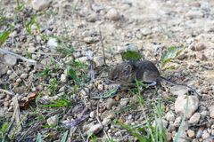 Live, wild mouse on the ground, on the path near the house stock image