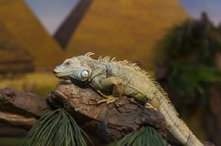 Live wild reptiles lizards shot close-up Royalty Free Stock Photography