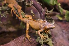 Live wild reptiles lizards shot close-up Royalty Free Stock Images