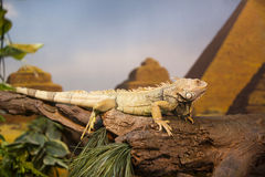 Live wild reptiles lizards. Shot close-up in nature Stock Photos