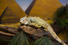 Live wild reptiles lizards. Shot close-up in nature Stock Photography