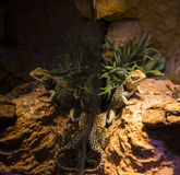 Live wild reptiles lizards shot close-up. In nature Stock Photo