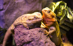Live wild reptiles lizards shot close-up. In nature Royalty Free Stock Photography