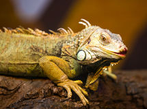 Live wild reptiles lizards shot close-up. In nature Royalty Free Stock Image