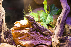 Live wild reptiles lizards shot close-up. In nature Stock Images