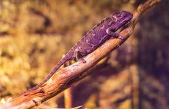 Live wild reptiles lizards shot close-up Stock Images