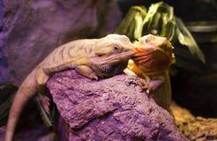 Live wild reptiles lizards shot close-up Royalty Free Stock Photos