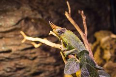 Live wild reptiles lizards shot close-up Royalty Free Stock Image