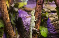 Live wild reptiles lizards shot close-up Royalty Free Stock Photo
