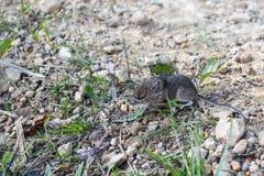 Live-, wilde Maus aus den Grund, auf dem Weg nahe dem Haus stockbild