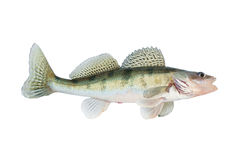 Live zander or pikeperch isolated on white Royalty Free Stock Photo