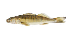 Live zander or pikeperch isolated on white Stock Images