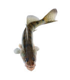 Live zander or pikeperch isolated on white stock photo