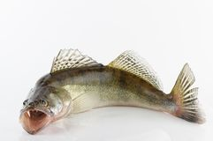 Live zander or pikeperch. Isolated on white background Royalty Free Stock Photos