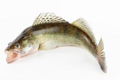 Live zander or pikeperch. Isolated on white background Royalty Free Stock Image