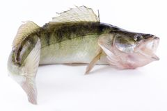 Live zander or pikeperch. On white background Royalty Free Stock Photo