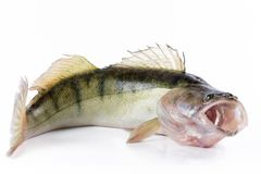 Live zander or pikeperch. On white background Stock Images