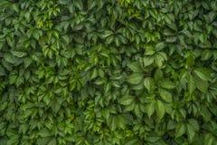 Livehecke von den mädchenhaften Ersttrauben Natürliche grüne Wandbeschaffenheit Parthenocissus Inserta lizenzfreie stockfotos