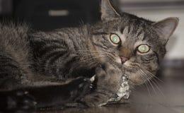 Livello sul Catnip Fotografia Stock Libera da Diritti