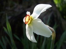 LIVELY CHARMING DAFFODIL NARCISSUS `MERLIN` INVITED YOU INTO THE GARDEN. CLEAN, CRISP AND INVITING - A small-cup beauty, `Merlin` offers crisp white petals and a Royalty Free Stock Photography