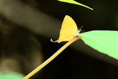 A lively Common-Yamfly butterfly Stock Photography