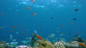 Lively coral reef edge with a lot of colorful fish. Coral reefs are the most diverse of all marine ecosystems. They teem with life, with perhaps one quarter of stock video footage