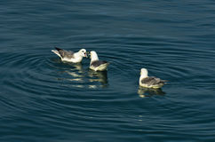 Lively discussion between seagulls while resting at ocean surface Royalty Free Stock Images