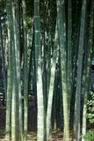 Lively green lush bamboo grove Stock Images