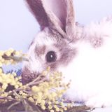 Lively little cute rabbit on a blue background. The colors of the rabbit are white with gray spots royalty free stock image