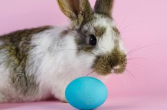 Lively little cute rabbit on a pink background. royalty free stock image