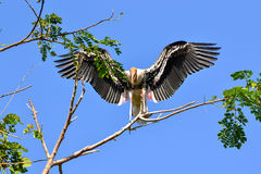 Lively Painted Stork (Ibis leucocephalus). Lively Painted Stork spreads the wings (Ibis leucocephalus Stock Image